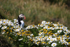 Atlantic puffin in front of nest entrance Royalty Free Stock Photos