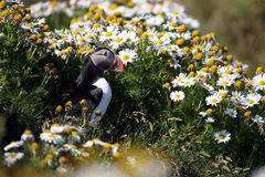 Atlantic puffin in front of nest entrance, Iceland Stock Photos