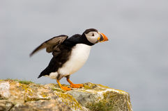 Atlantic puffin, Stock Images