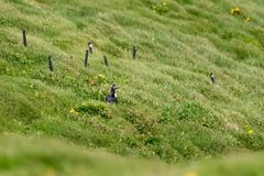 An Atlantic Puffin in the Grass stock images