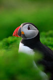 Atlantic puffin in green foliage Royalty Free Stock Image