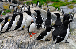 Atlantic Puffin and a group of Razorbills Royalty Free Stock Image
