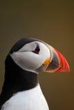 Atlantic puffin head shot Stock Image