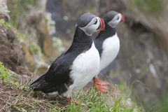 Atlantic Puffin in Iceland Royalty Free Stock Image