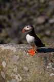 Atlantic Puffin, Isle of Lunga, Argyll, Scotland. Stock Image