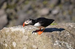 Atlantic Puffin, Isle of Lunga, Argyll, Scotland. Stock Photos
