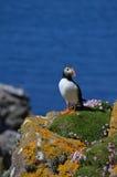 Atlantic Puffin, Isle of Lunga, Argyll, Scotland. Close view of Atlantic Puffin, Isle of Lunga, Argyll, Scotland. Rocks, moss pink wild flowers and blue sea stock photo