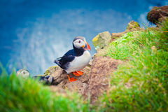 Atlantic Puffin on Latrabjarg Cape, Vestfirdir, Iceland. Stock Images