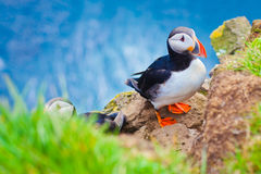 Atlantic Puffin on Latrabjarg Cape, Vestfirdir, Iceland. Stock Photography