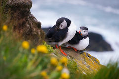 Atlantic Puffin in Latrabjarg cliffs, Iceland. Atlantic Puffin Fratercula arctica in Latrabjarg cliffs, Iceland stock photo