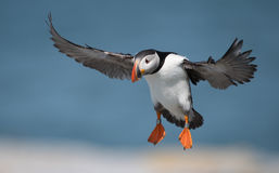 Atlantic Puffin. On Machias Seal Island stock images