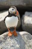 Atlantic Puffin on Machias Seal Island, Maine, USA / Canada Royalty Free Stock Photo