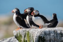 Atlantic Puffin in Maine. Atlantic puffin on Machias Seal Island off the coast of Maine stock image