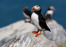Atlantic Puffin in Maine Guards Its Nest Royalty Free Stock Image
