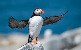 Atlantic Puffin in Maine. Atlantic Puffin off the coast of Maine Stock Photography