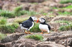 Atlantic Puffin Mating behavior, touching beaks, from Newfoundland, Canada. Rookery background. Atlantic Puffin Mating behavior, standing on nesting burrows royalty free stock photography