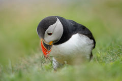 Atlantic Puffin Royalty Free Stock Photography