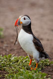 Atlantic puffin with nesting matieral Royalty Free Stock Image