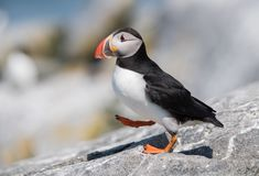 Atlantic Puffin stock photo