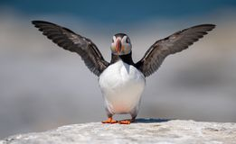 Atlantic Puffin in Maine. Atlantic Puffin off the coast of Maine Stock Images
