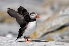 Atlantic Puffin in Maine. Atlantic Puffin off the coast of Maine Royalty Free Stock Photos