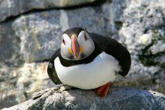 Atlantic puffin posing among rocks Royalty Free Stock Photo