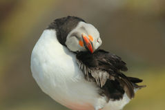 Atlantic Puffin preening Stock Image