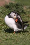 Atlantic Puffin preening Stock Photography