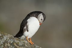 Atlantic Puffin preening on rock Runde island Norway Royalty Free Stock Photo