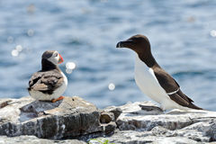 Atlantic puffin and razorbill, Farne Islands Nature Reserve, Eng Stock Photos