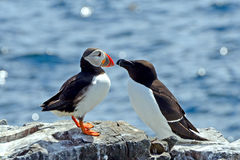 Atlantic puffin and razorbill, Farne Islands Nature Reserve, Eng Stock Photo
