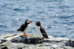 Atlantic puffin and razorbill, Farne Islands Nature Reserve, Eng Royalty Free Stock Images
