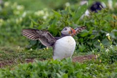 Atlantic puffin ready to fly Royalty Free Stock Image