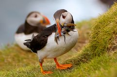 Atlantic Puffin returning from fishing trip Royalty Free Stock Images