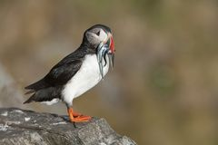 Atlantic Puffin on rock with fish in beak Runde island Norway Stock Photos
