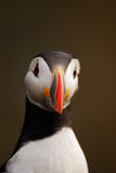 Atlantic puffin with ruffled head feathers Royalty Free Stock Image