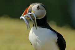 Atlantic Puffin with Sand Eels royalty free stock photos