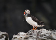 Atlantic Puffin with sandeels (Fratercula arctica) Stock Photography