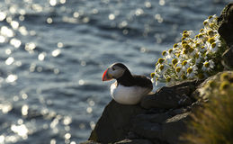Atlantic puffin seating on rock Royalty Free Stock Photo
