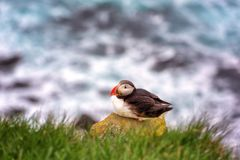 Atlantic puffin single bird on the stone against the ocean background, animals in the wild. Iceland stock photo