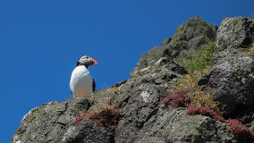 Atlantic Puffin - Skomer Island Stock Photo