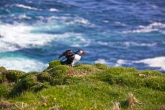 Atlantic Puffin spreading wings. Atlantic Puffin on a cliff getting ready for flight on Shetland Islands, Scotland Stock Images