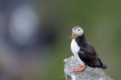 Atlantic Puffin standing cliff edge Stock Images