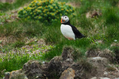 Atlantic Puffin. Standing in the grass royalty free stock photos