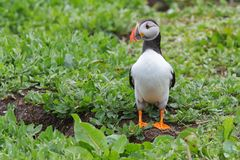 Atlantic puffin standing guard outside it`s burrow Royalty Free Stock Photo