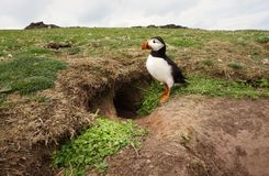 Atlantic puffin standing by its burrow, UK. Atlantic puffin standing by its burrow, Noss island, Shetland islands, UK stock image