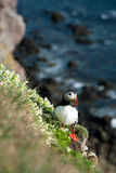 Atlantic Puffin standing on a ledge Royalty Free Stock Images