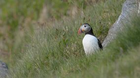Atlantic puffin stock video footage