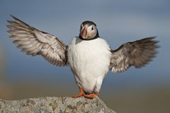 Atlantic Puffin stretched wingspan Runde island Norway Royalty Free Stock Images