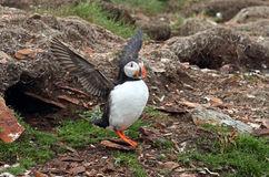 Atlantic Puffin Stretching its Wings, Newfoundland, Canada Stock Photos